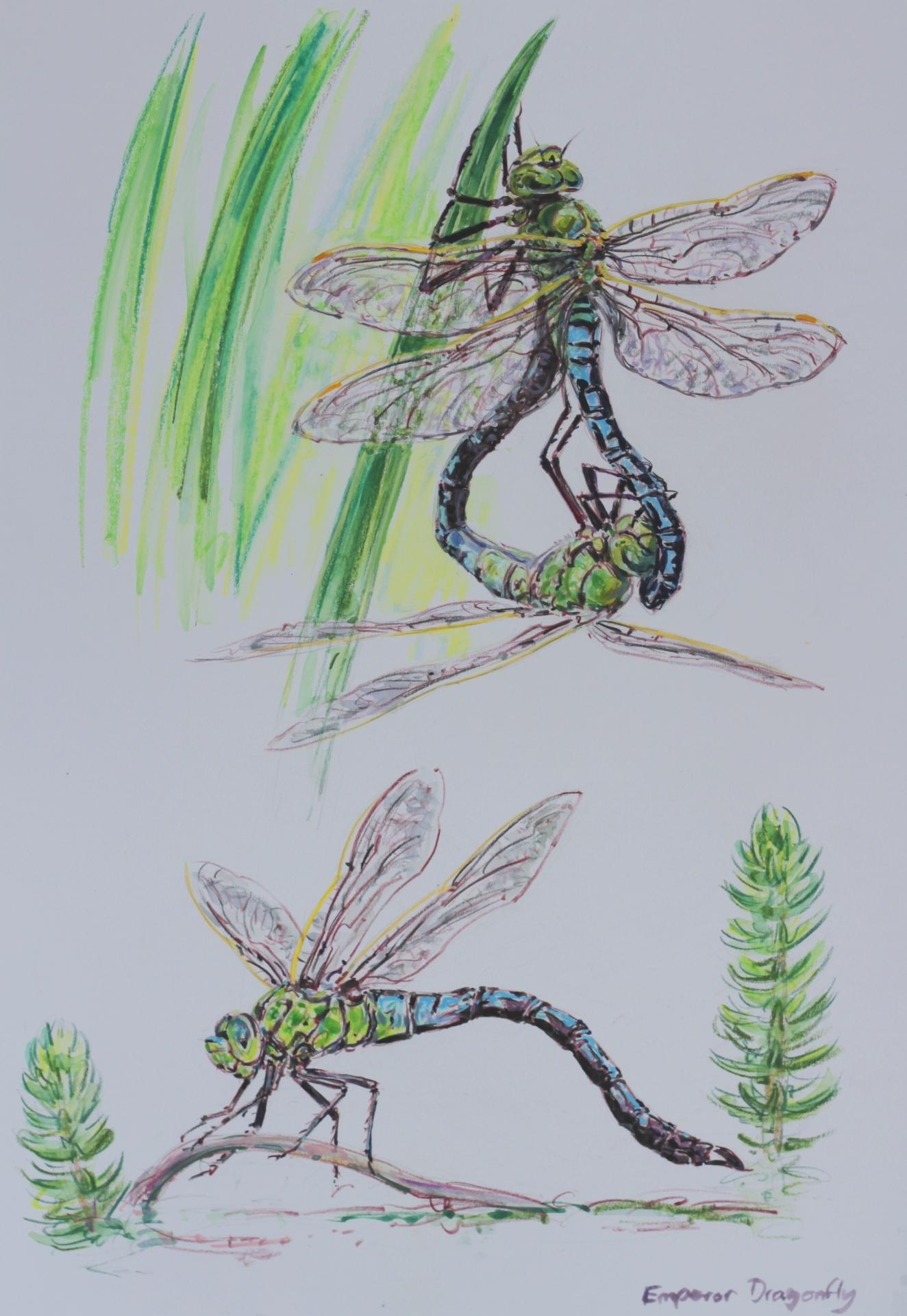 Emperor Butterfly Studies