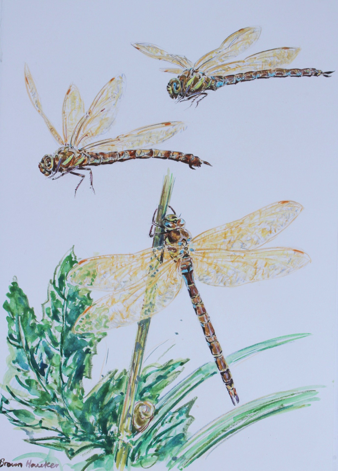 Brown Hawker Dragonfly Studies