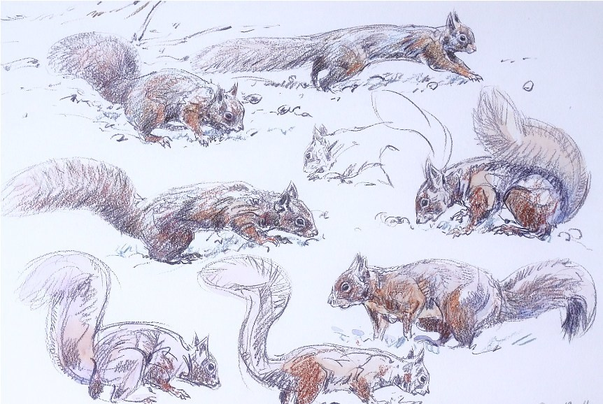 Red Squirrel Studies