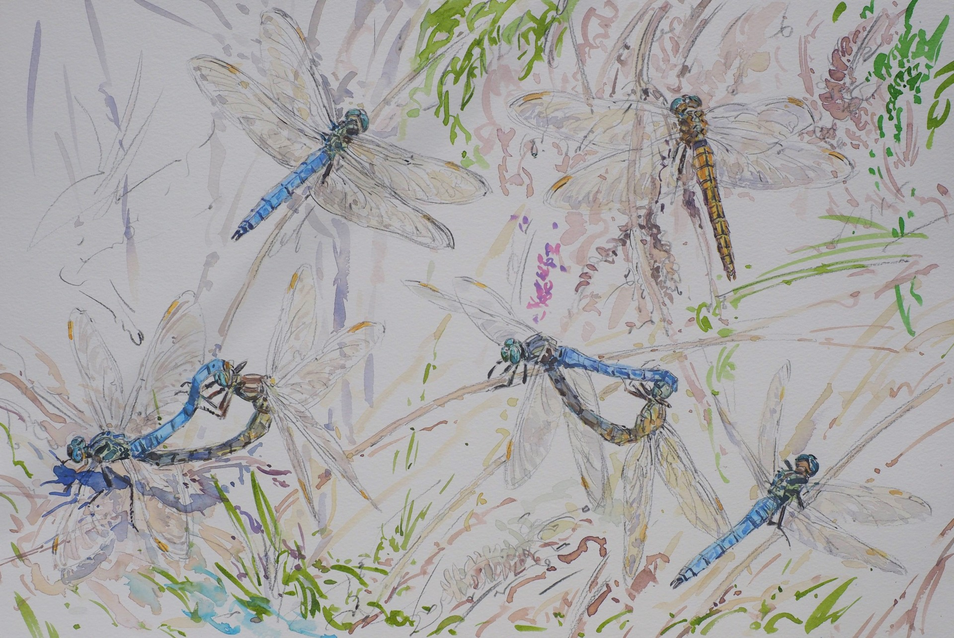 Broad Tailed Skimmer Studies, Mull
