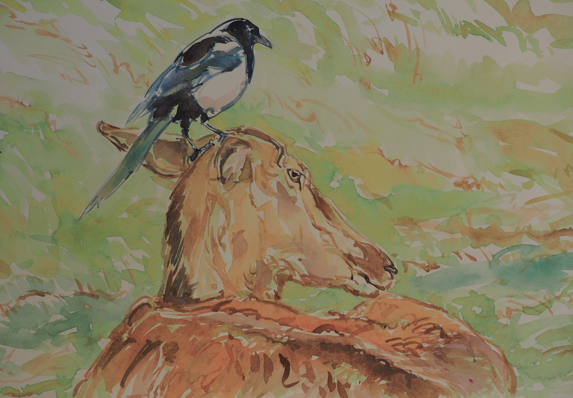Magpie picking Ticks from a Red Deer Hind, Galloway, Scotland