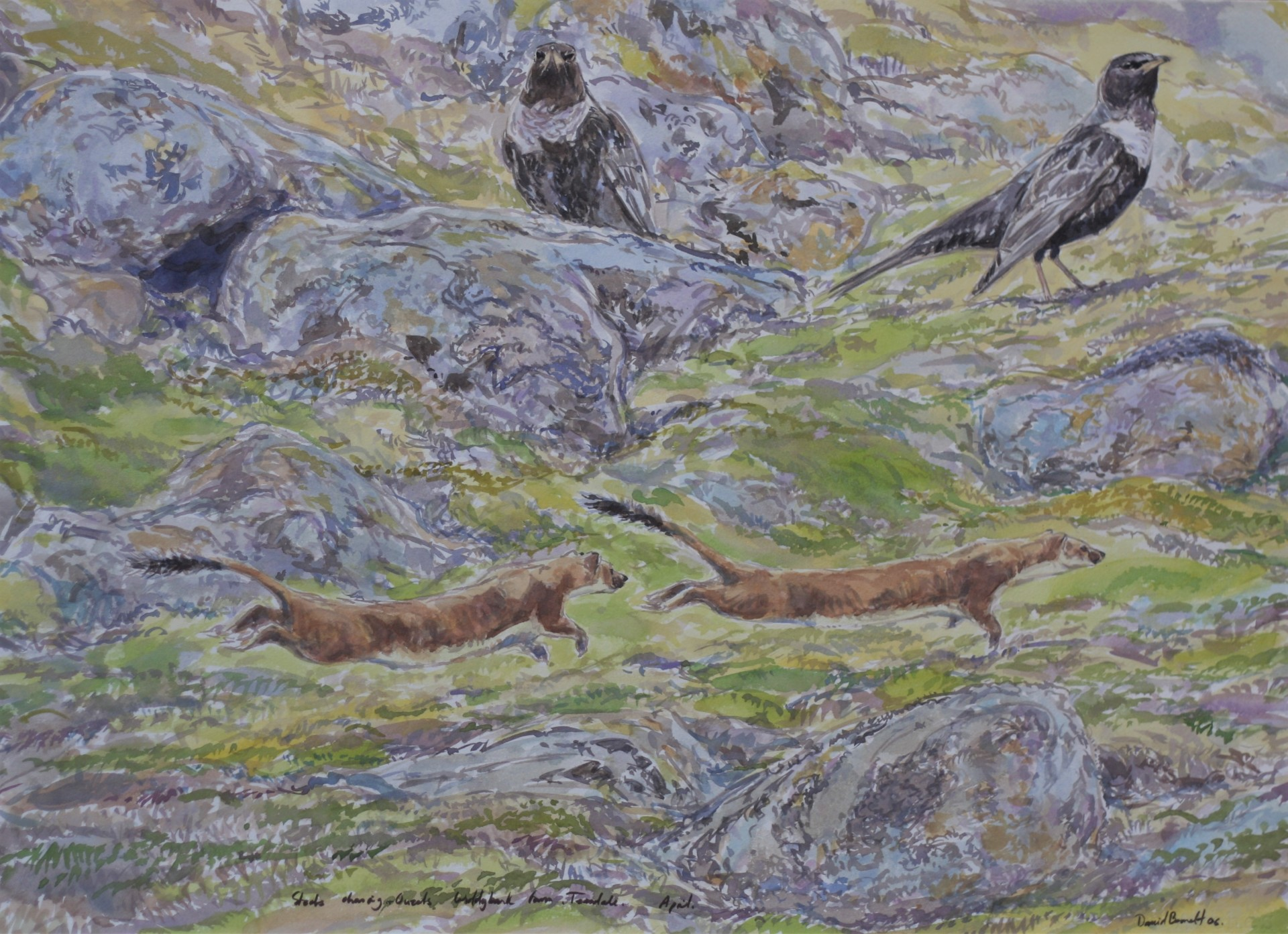 Ring Ouzels and Stoat Chase, Teesedale