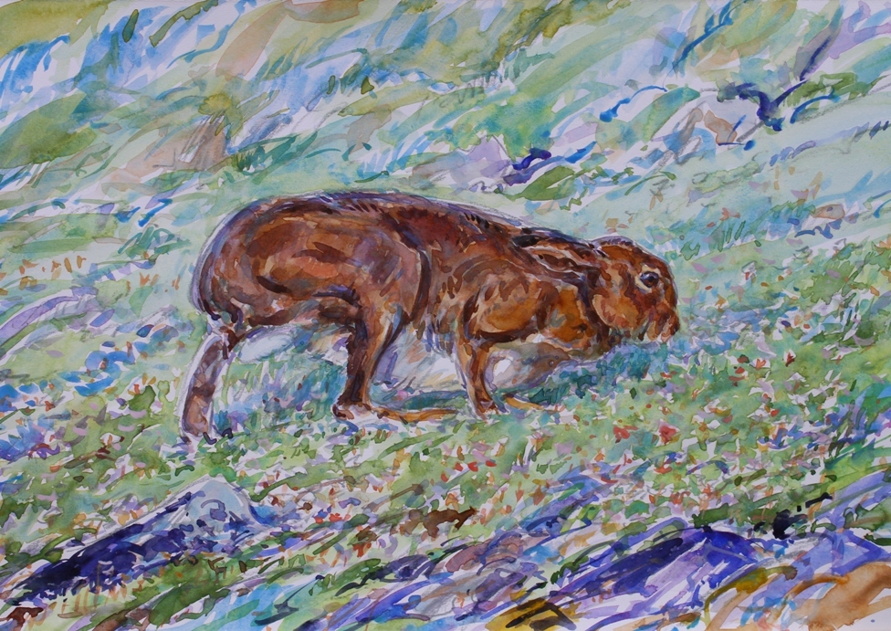 Summer Mountain Hare, Mull