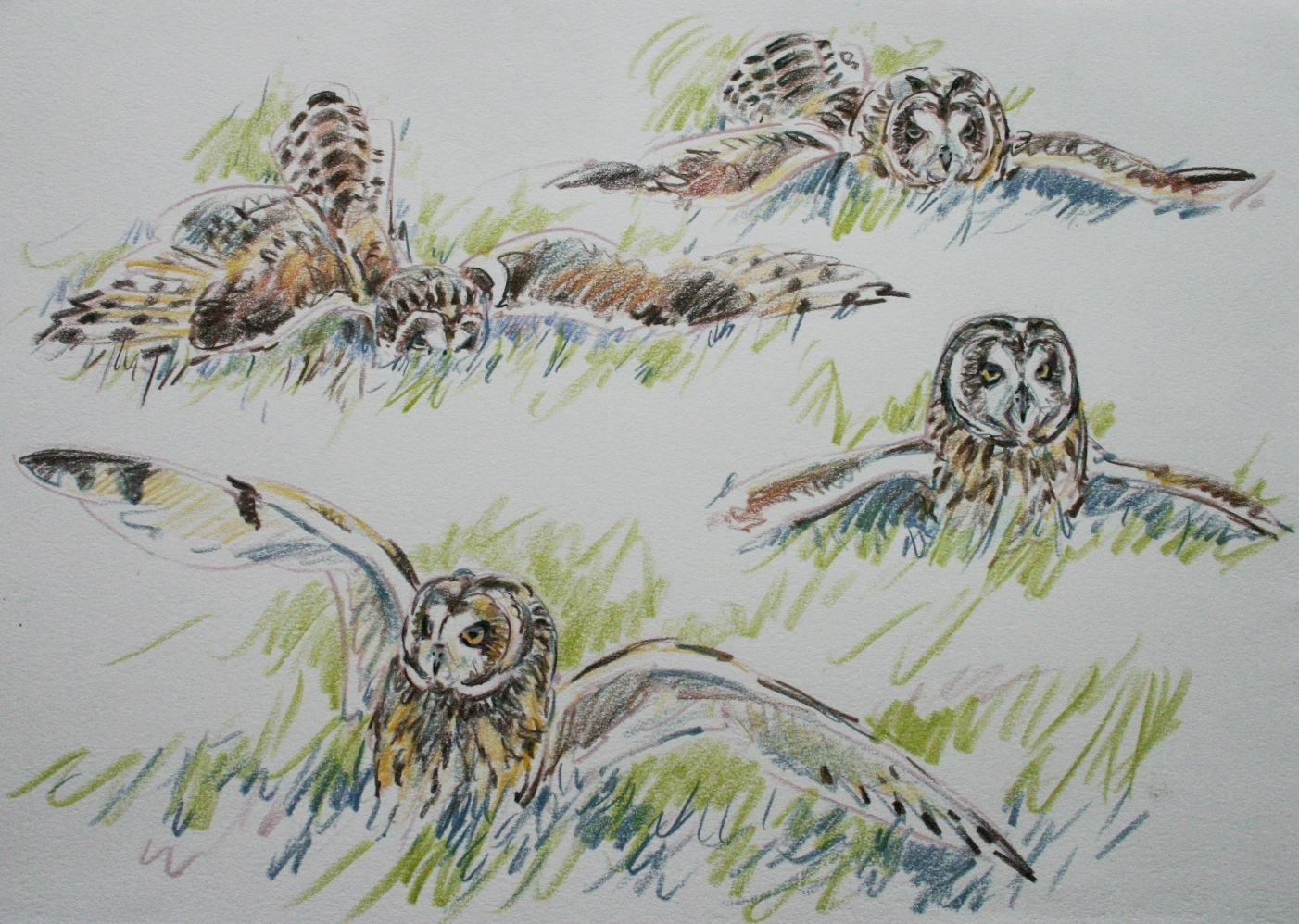 Short Eared Owl with Vole