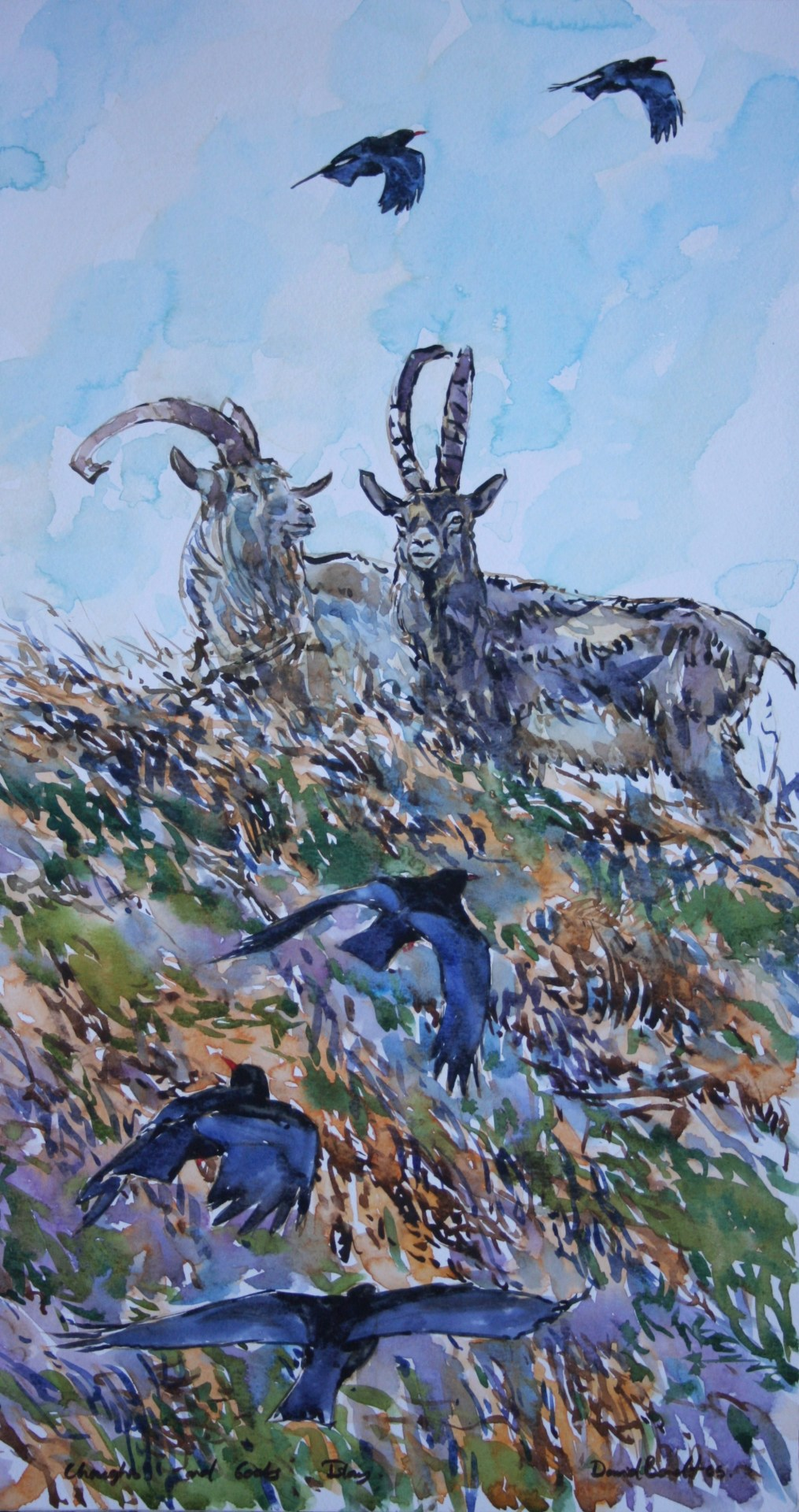Goats and Choughs, islay