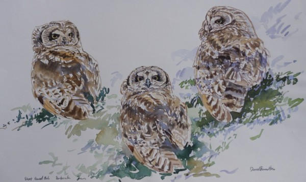 Short Eared Owl studies, North Uist