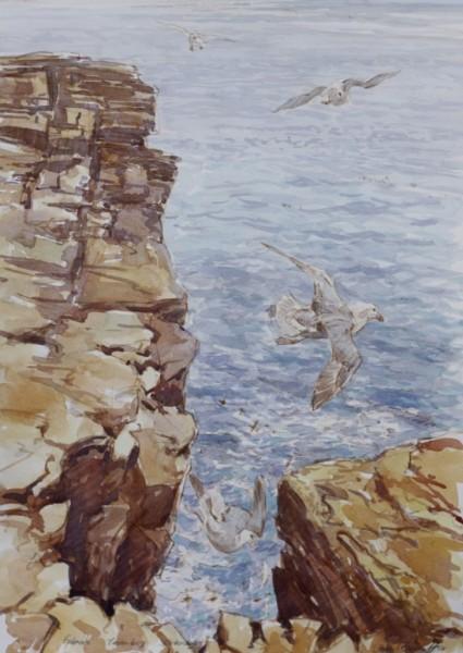 Fulmars, Yeasanby, Orkney