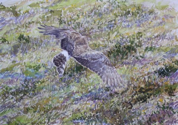 Hen Harrier, Orkney