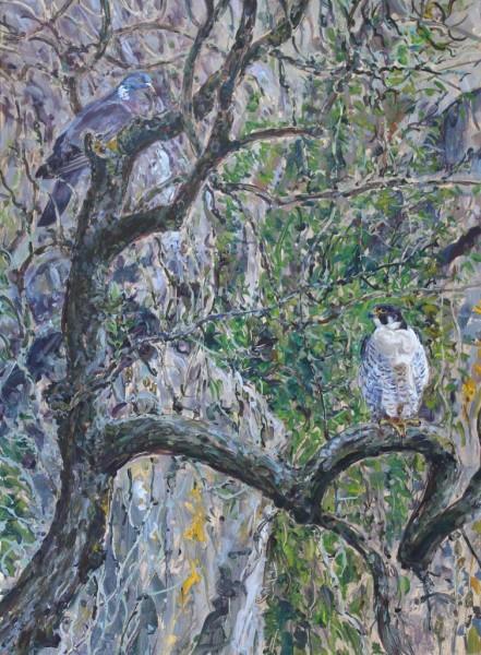Peregrine Tiercel and Wood Pigeon, Malham