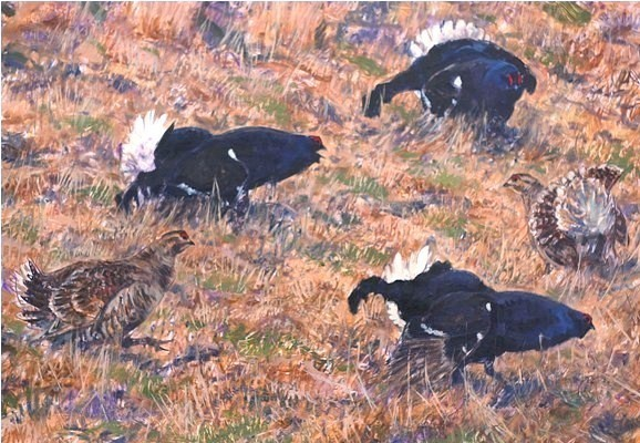Black Grouse, Teesedale