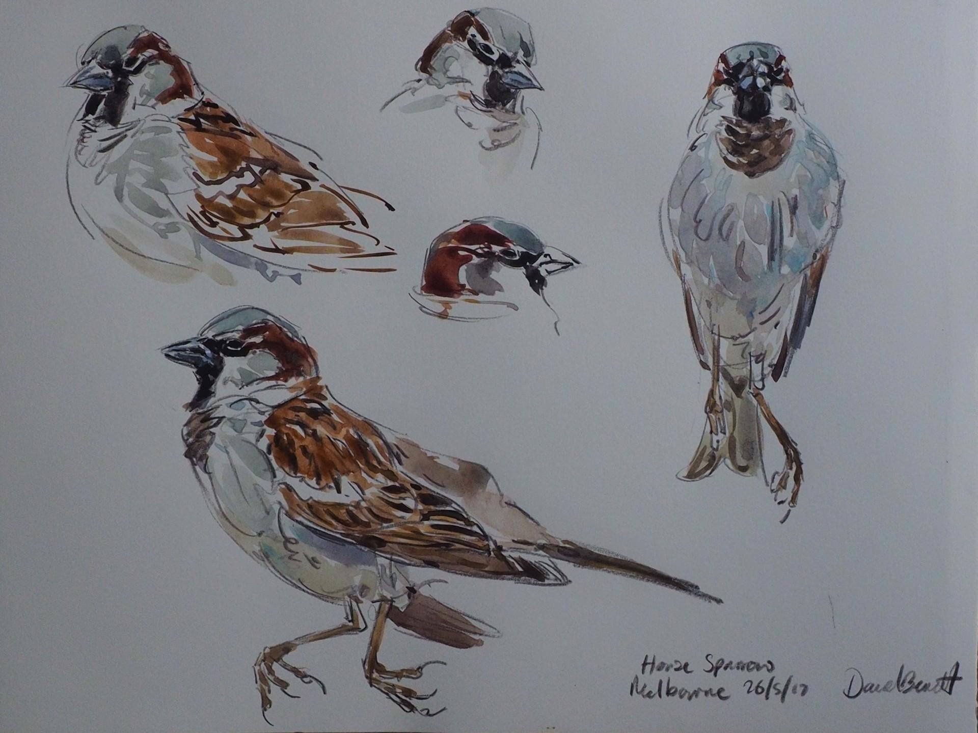 House Sparrow Study