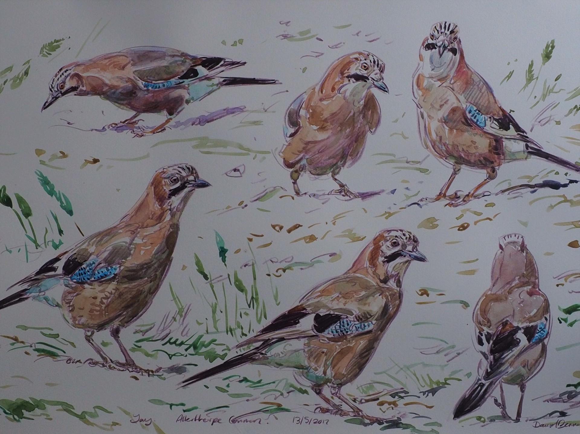 Jay Studies, Allerthorpe Common