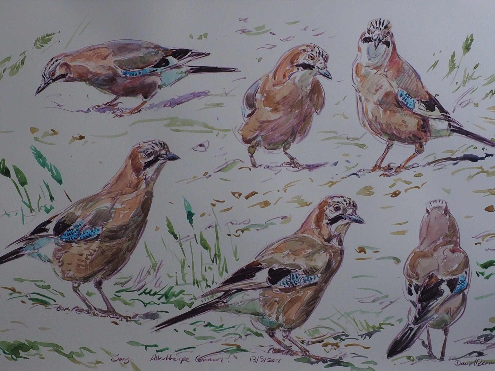 Jay Studies, Allerthorpe Common