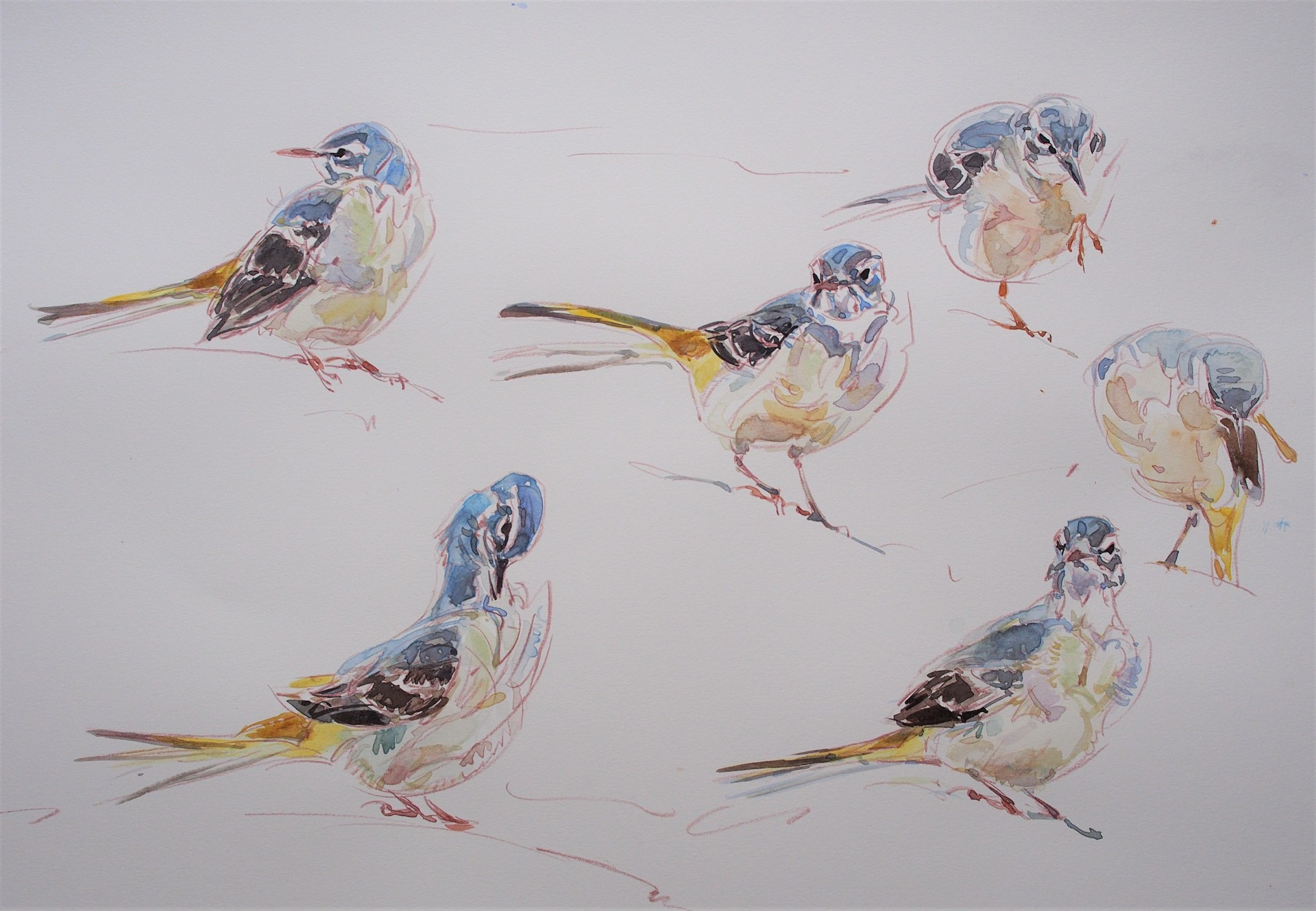 Grey Wagtail studies