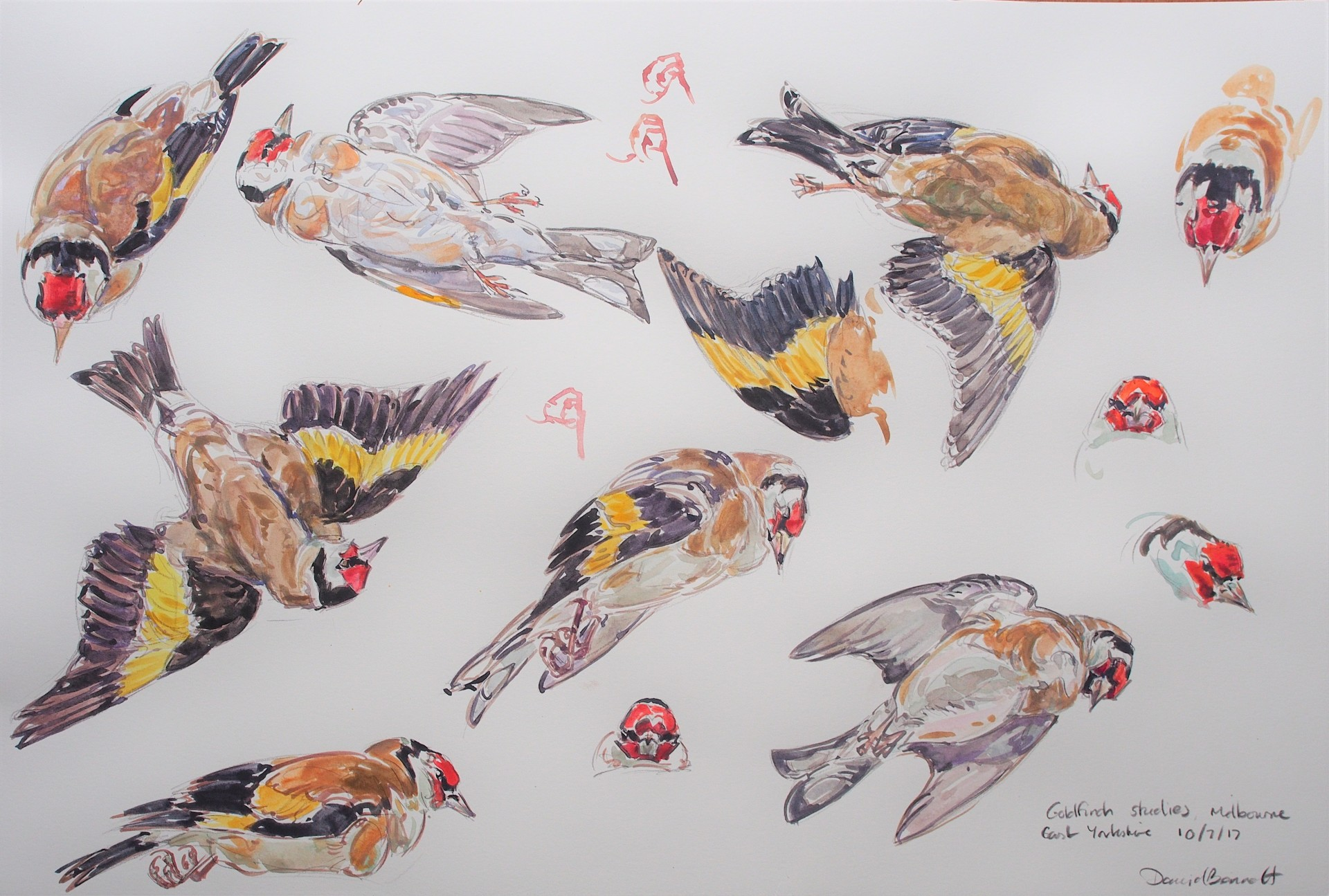 Goldfinch studies