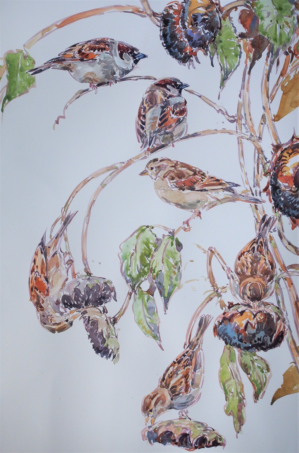 House Sparrows on Sunflower Heads