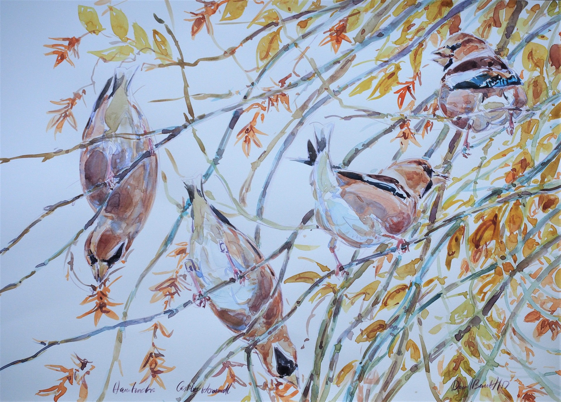 Hawfinches Feeding on Hornbeam Seeds