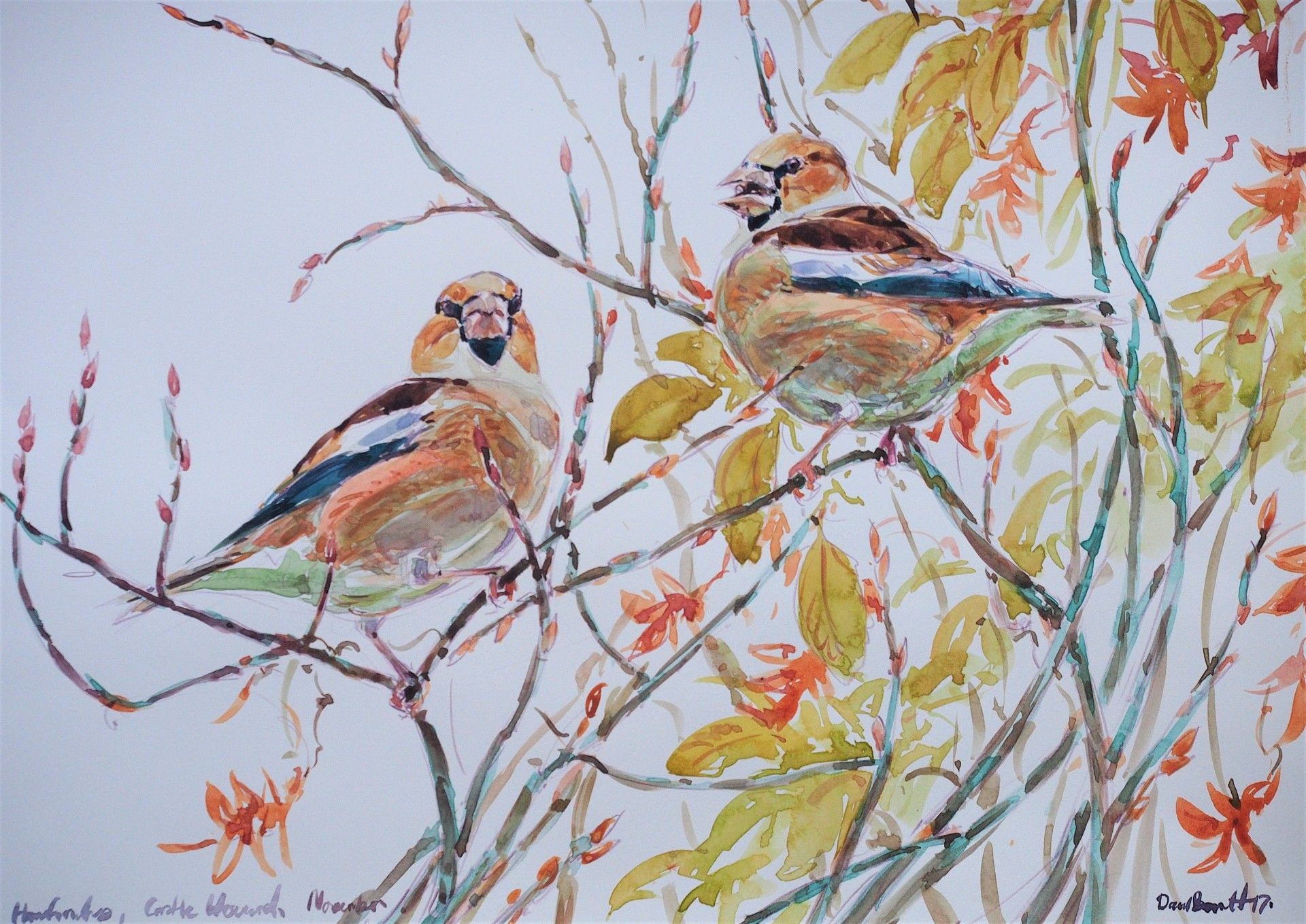 Hawfinches on Hornbeam, Castle Howard.