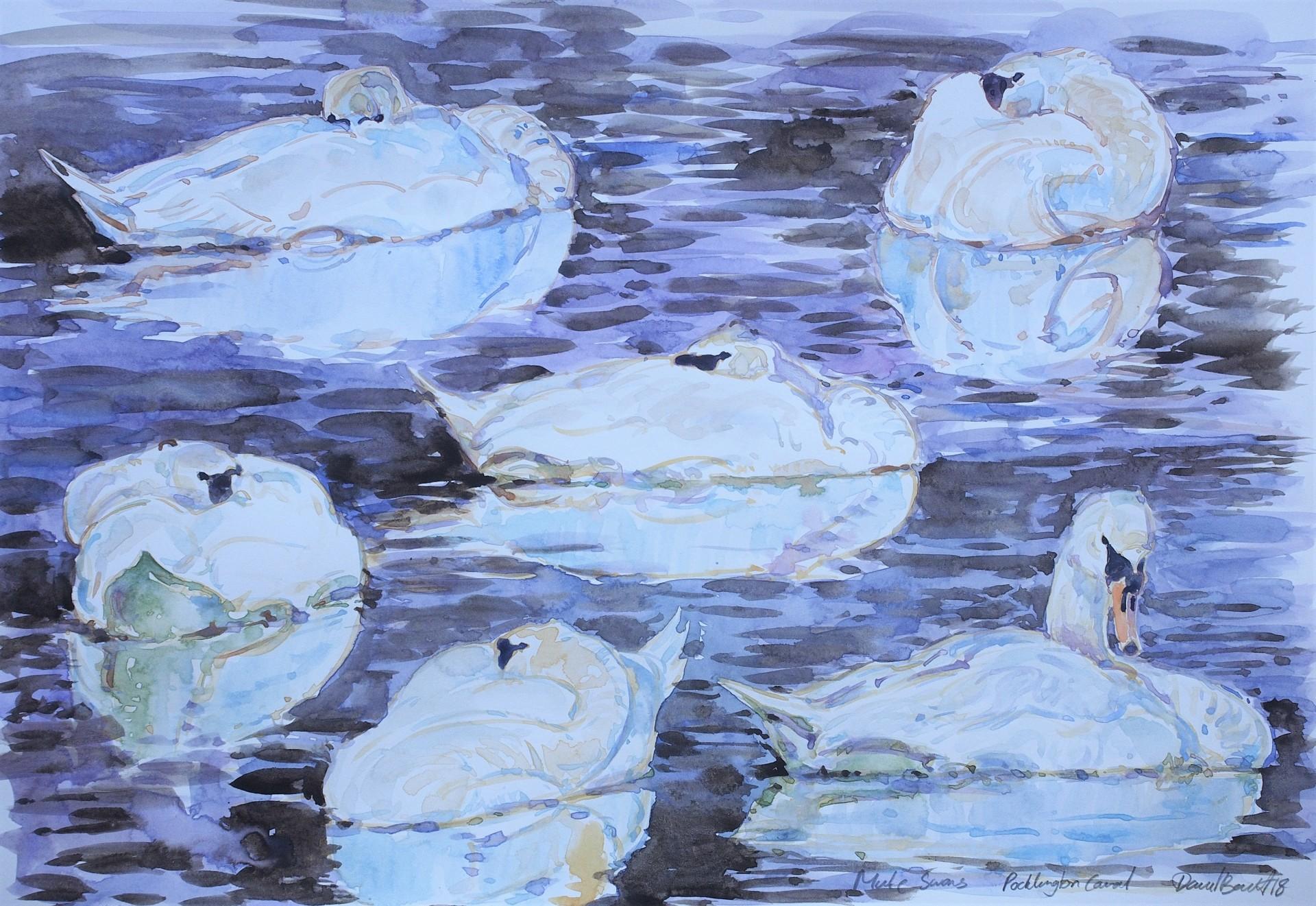 Mute Swan Studies, Pocklington Canal
