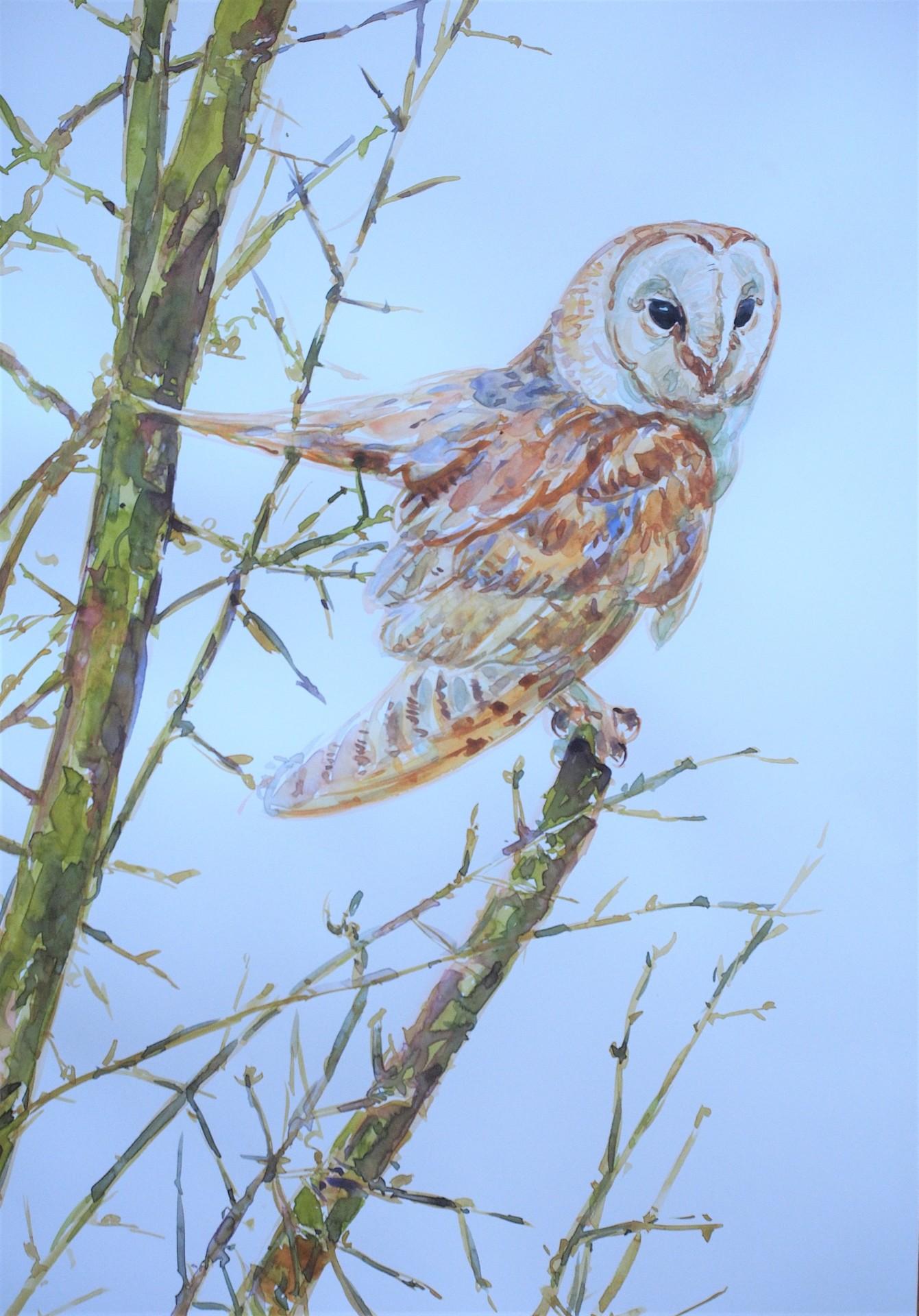Barn Owl, Pocklington Canal