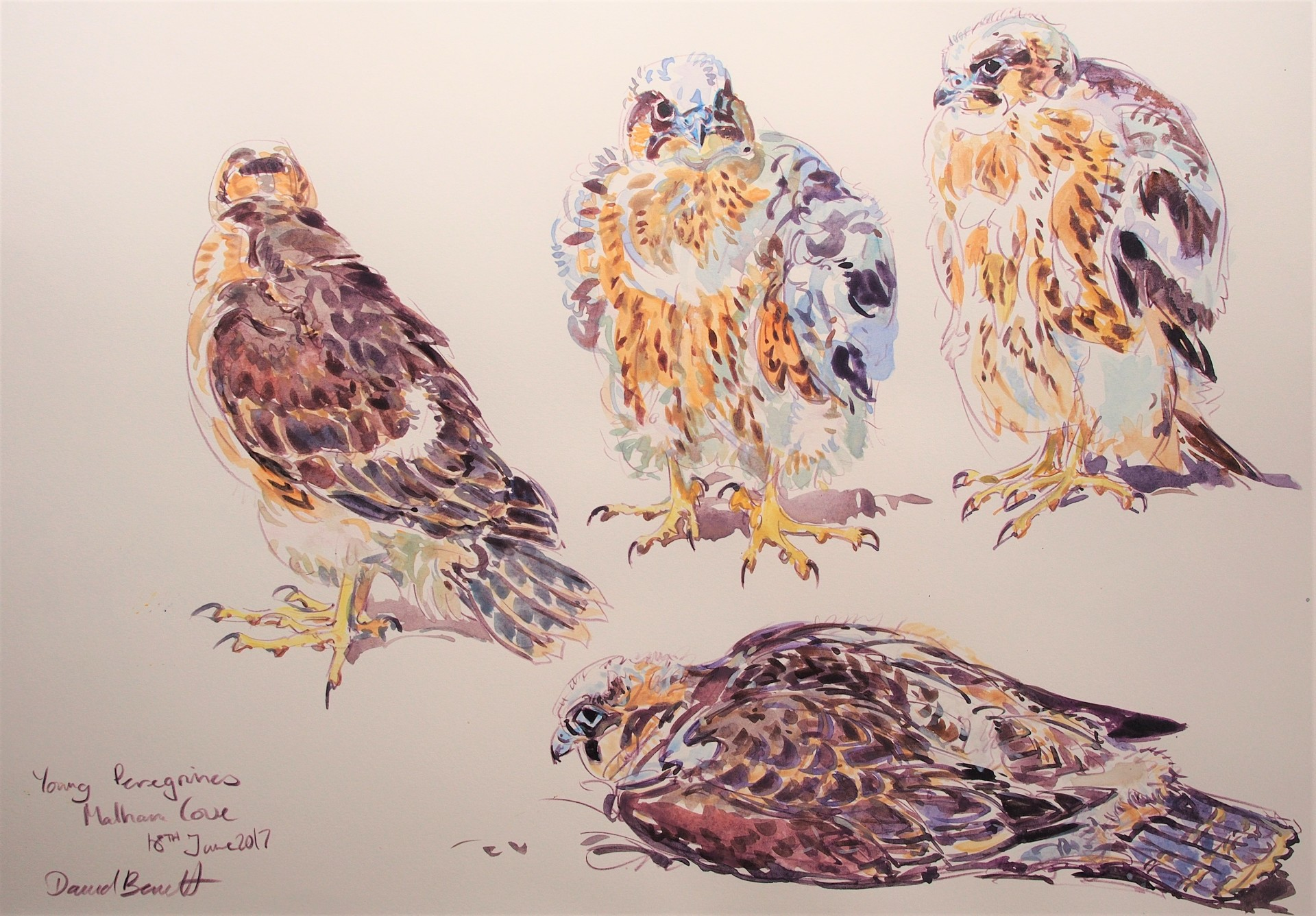 Young Peregrine studies, Malham Cove