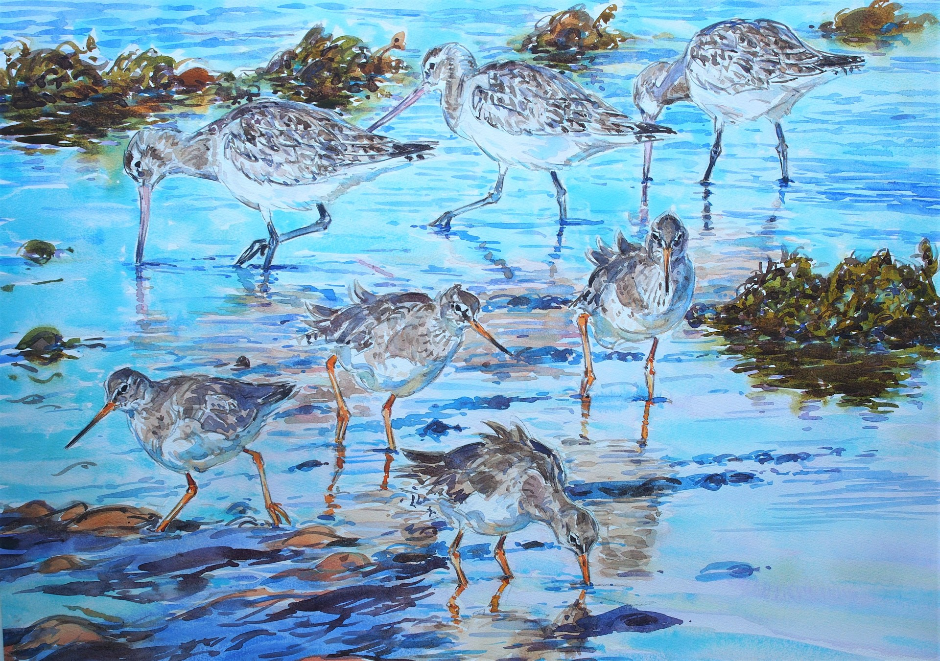 Bar Tailed Godwits and Redshank, Budle Bay, Northumberland