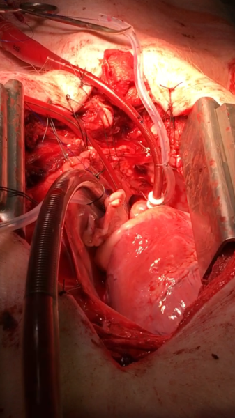 Pig Heart, Animal Experiments