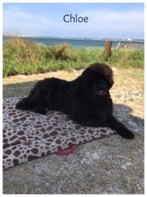 Newfoundland Dog Pets Therapy