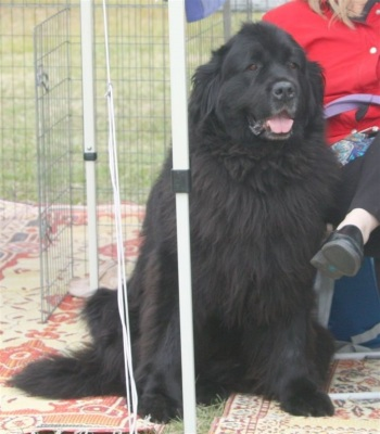 Newfoundland Dog breeder