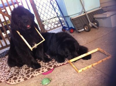 Newfoundland Dog Australia