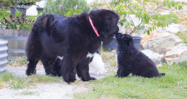Newfoundland Dog Breeder Australia