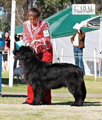 Newfoundland Show dogs Australia