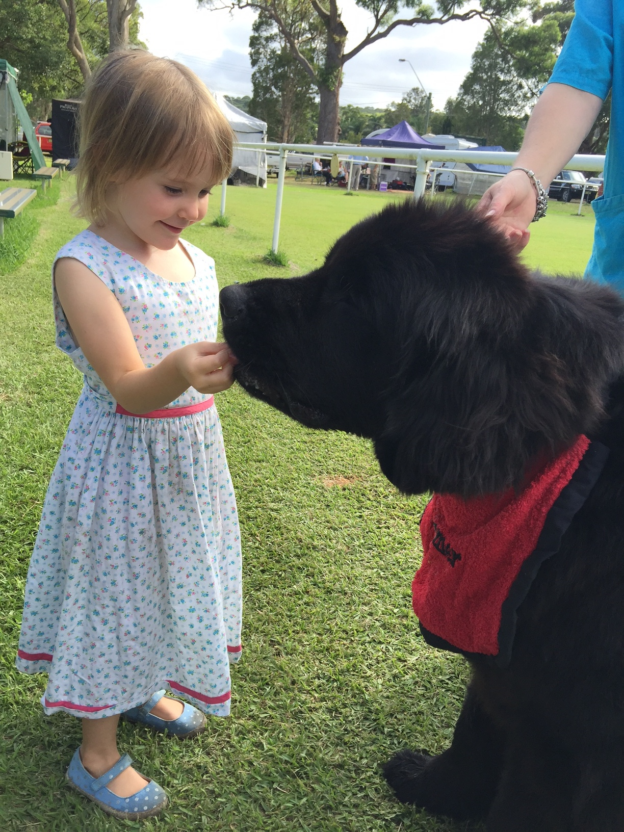 Newfoundland Dog great with kids