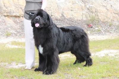Newfoundland Dog Newflabel Newfoundlands