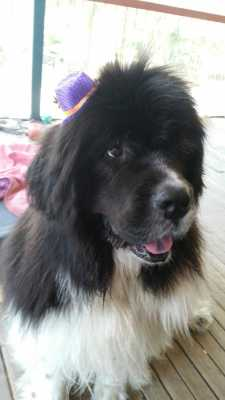 Newfoundland Dog having fun