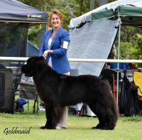 Show dogs Australia