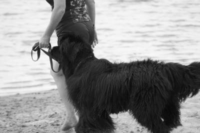 Newfoundland Dog Runner Up Best In Show