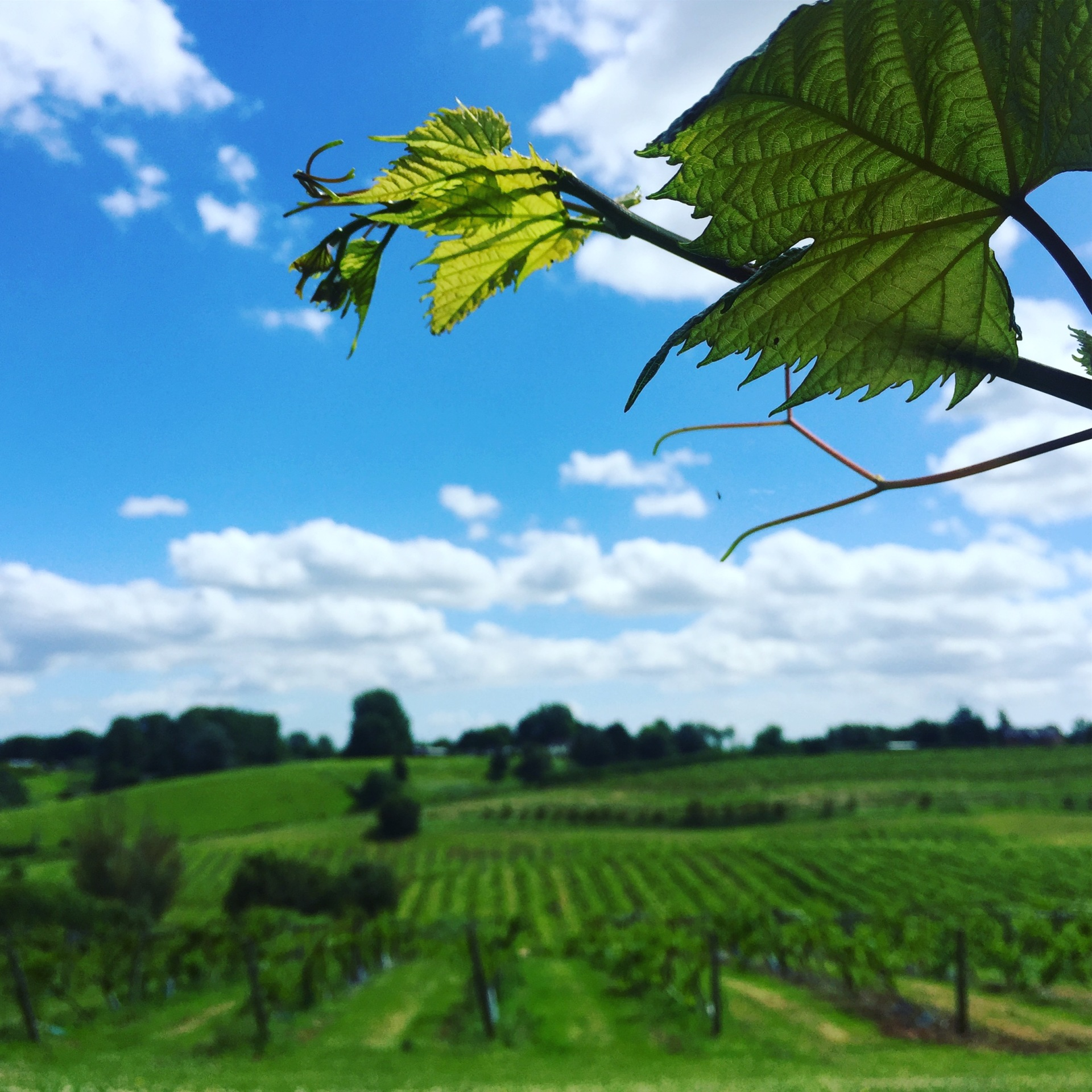 Vista over the vines at 3 Choirs vineyard
