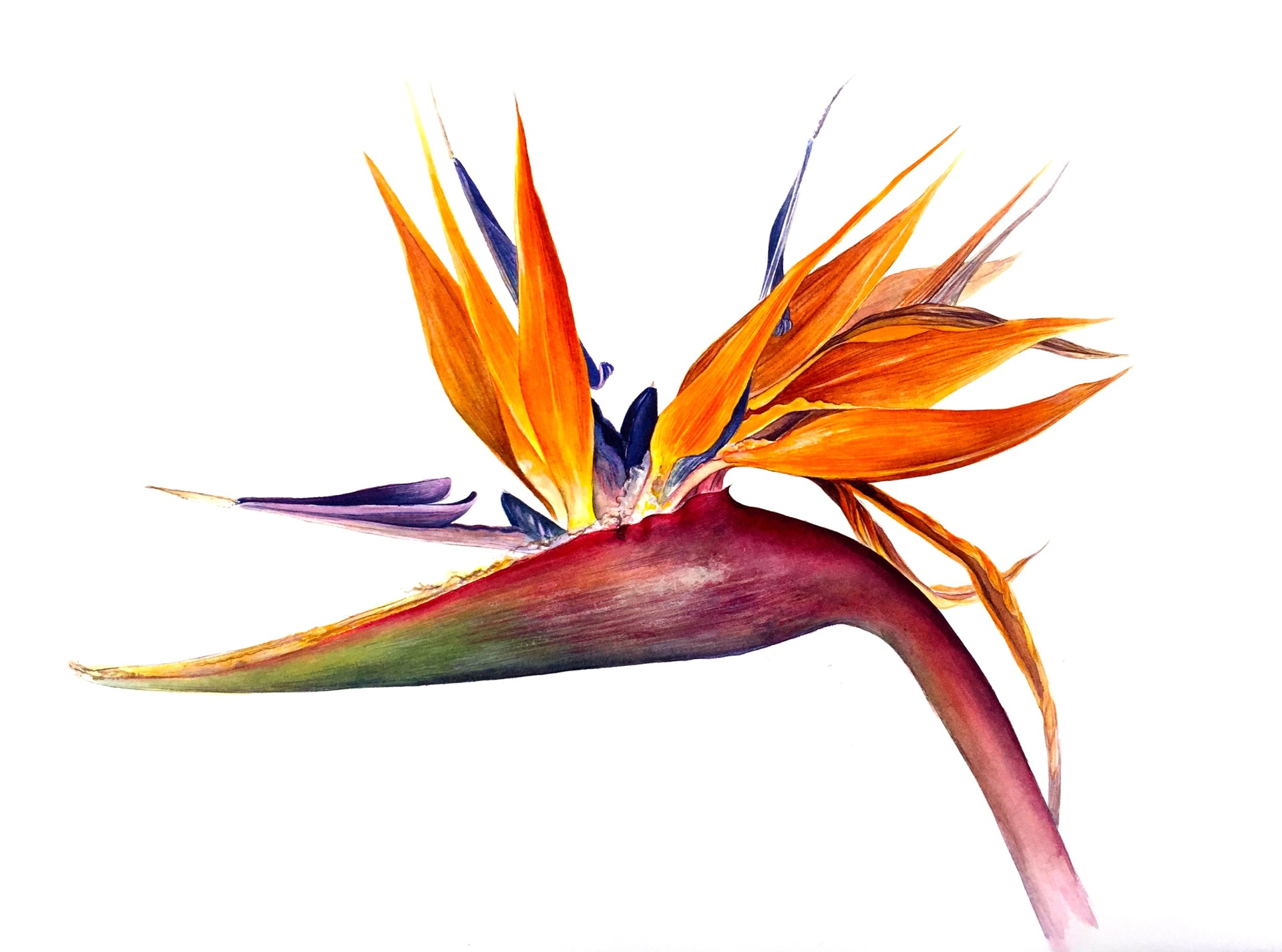 Strelitzia B, Watercolour
