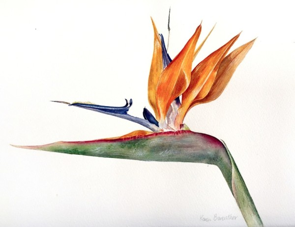 Strelitzia, watercolour