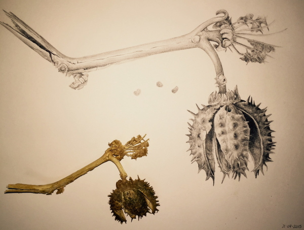 botanical drawing, pencil