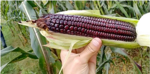 Primera variedad de maíz morado adaptada en Córdoba, Argentina