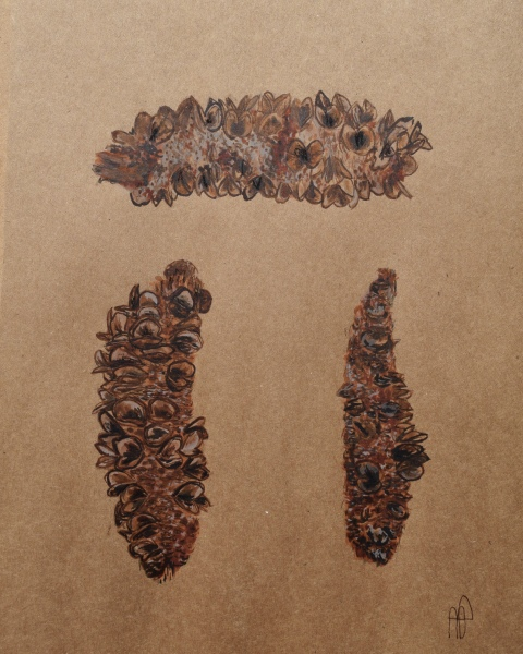 BANKSIA PODS (SOLD)