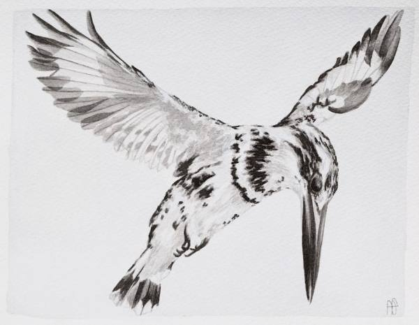 PIED KINGFISHER (SOLD)