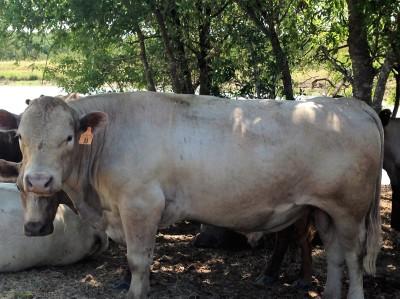 Sire Bulls