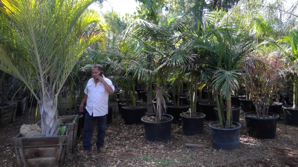 #palms, #plantnursery, #tropicals