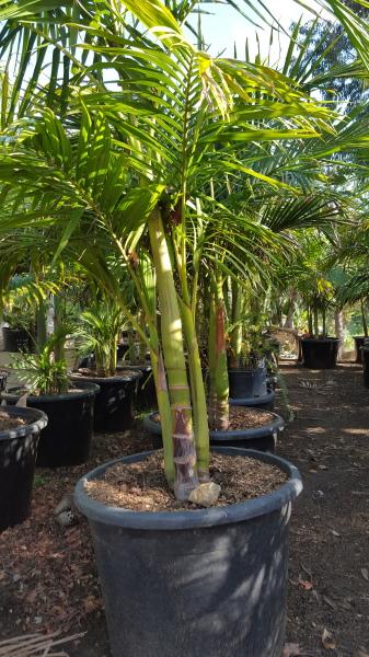 King Palm Multi Trunk