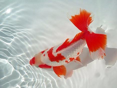 Red and white jikin