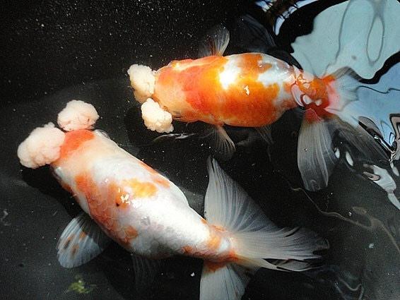 Pompon eggfish
