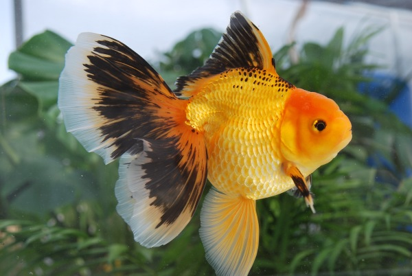 Red and Black Oranda bred by Bo Zhao